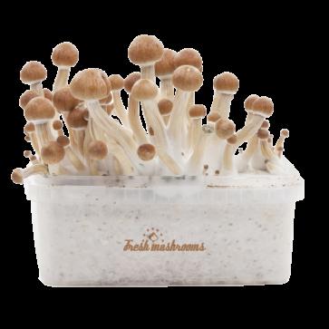 Amazonian XP Fresh Magic Mushrooms Grow Kit