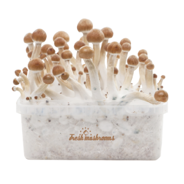 B+ XP | Fresh Magic Mushrooms Grow Kit