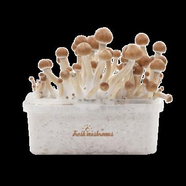 Magic mushroom kit mazatapec
