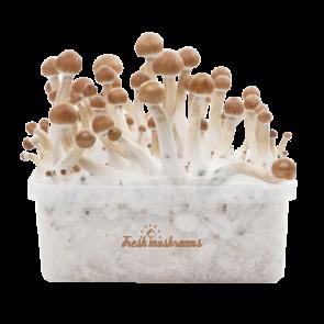 B+ XP | Fresh Magic Mushrooms Grow Kit