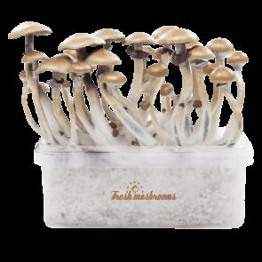 Golden Teacher XP| Fresh Magic Mushrooms Grow Kit