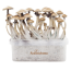 Golden Teacher XP  Fresh Magic Mushrooms Grow Kit