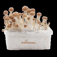 FreshMushrooms B+ XP Magic Mushrooms Grow Kit - Magic