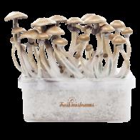 FreshMushrooms B+ XP Magic Mushrooms Grow Kit - Magic-Truffles-Shop com