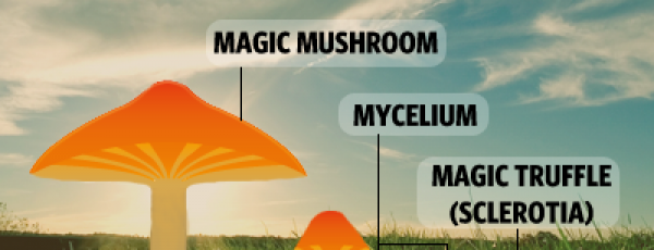 The difference between Magic Truffles and Magic Mushrooms